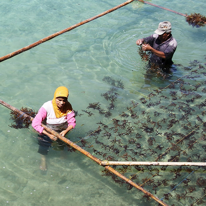 Lifting 40,000 Indonesian seaweed farmers out of poverty