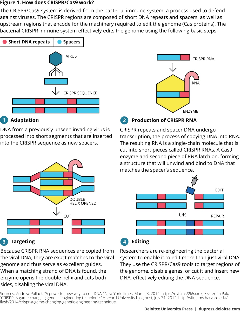 Figure 1. How does CRISPR/Cas9 work?
